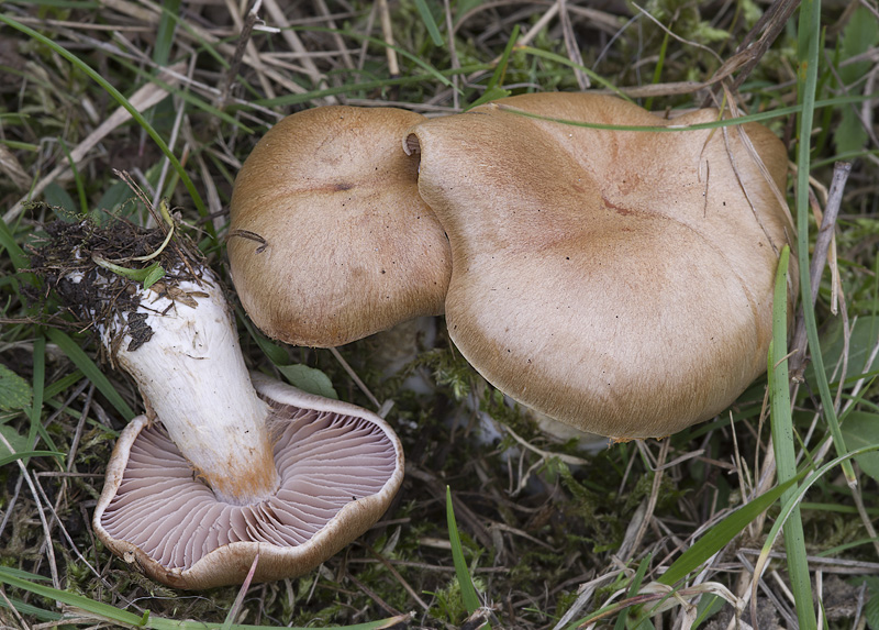 Cortinarius tabularis